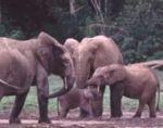 b_150_150_16777215_00_images_stories_allatok_elefantfamilyk.jpg