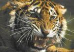 b_150_150_16777215_00_images_stories_allatok_tigrisk.jpg